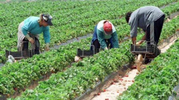 Locuri de muncă în Spania, la cules de căpșuni. Salariul oferit este de 40,43 euro brut/zi