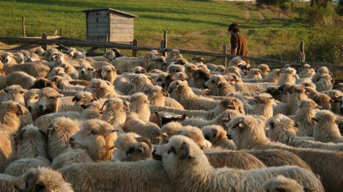 """I-au furat oile din saivan! Trei bărbați din Bragadiru, acuzați că """"au plecat cu mioarele"""" unui cioban"""