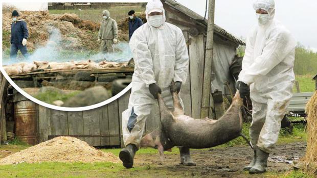 DSVSA Teleorman. Aproximativ 4,5 miliarde de lei, valoarea despăgubirilor pentru gospodăriile afectate de pesta porcină