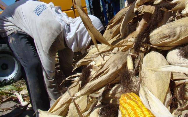 Toamna, sezonul hoţilor de cereale! Doi bărbaţi din comuna Dracea, prinşi cu căruţa în lanul de porumb